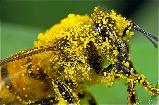 Пыльца ОБНОЖКА (купить)